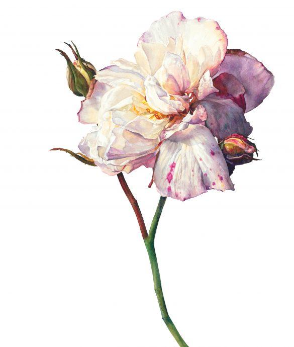Love-in-Idleness - Rosie Sanders' - Roses - Beautiful Heirloom Home