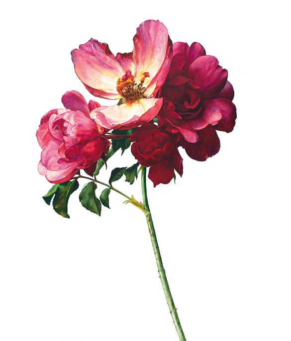 Shades of Red - Rosie Sanders' - Roses - Beautiful Heirloom Home