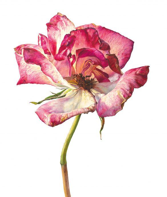 Still as sweet - Shades of Red - Rosie Sanders' - Roses - Beautiful Heirloom Home